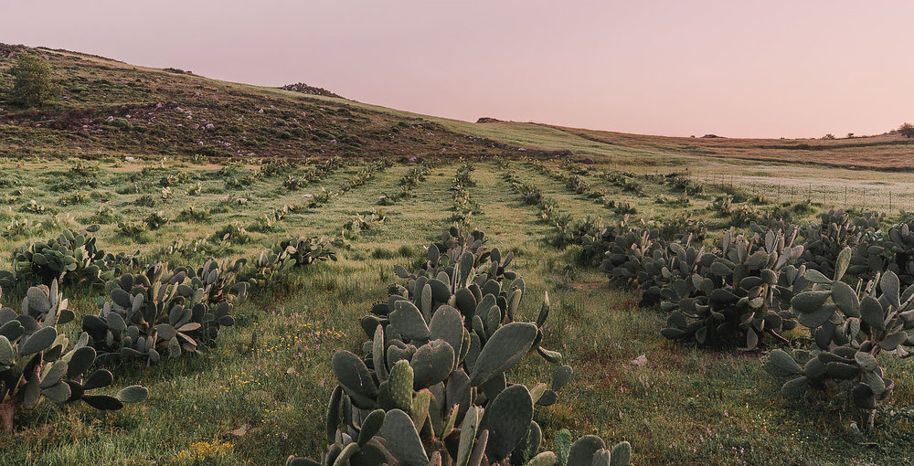 michaliskoulieris-prickly-pear.jpg