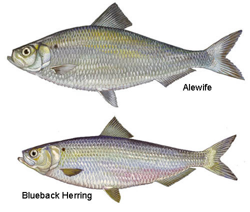 River herring are silver in color and laterally compressed. They grow to be approximately 10 inches long, however, repeat spawners can be up to 14 inches.  Illustrations by Diane Rome Peebles.