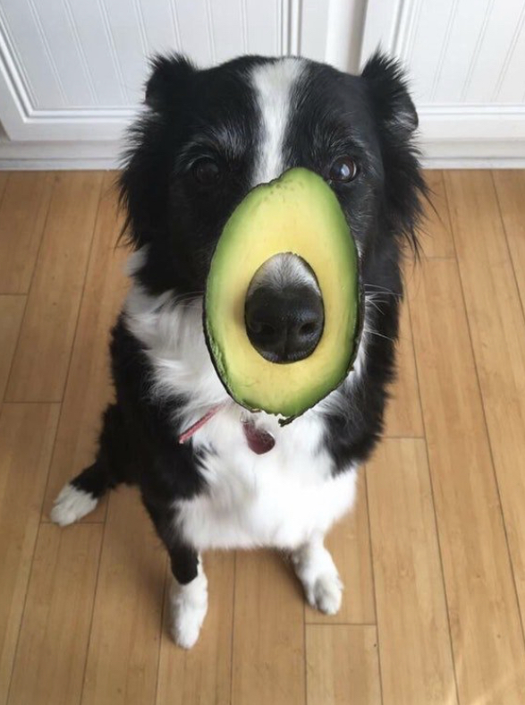 Avocado - Avocados, for example, have something called persin. It's fine for people who aren't allergic to it. But too much might cause vomiting or diarrhea in dogs. If you grow avocados at home, keep your dog away from the plants. Persin is in the leaves, seed, and bark, as well as the fruit. Also, the avocado seed can become stuck in the intestines or stomach, and obstruction could be fatal.