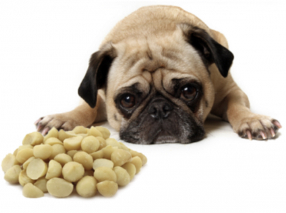 Macadamia Nuts - Keep your dog away from macadamia nuts and foods that have macadamia nuts in them. Just six raw or roasted macadamia nuts can make a dog sick. Look for symptoms like muscle shakes, vomiting, high temperature, and weakness in his back legs. Eating chocolate with the nuts will make symptoms worse and may even lead to death.