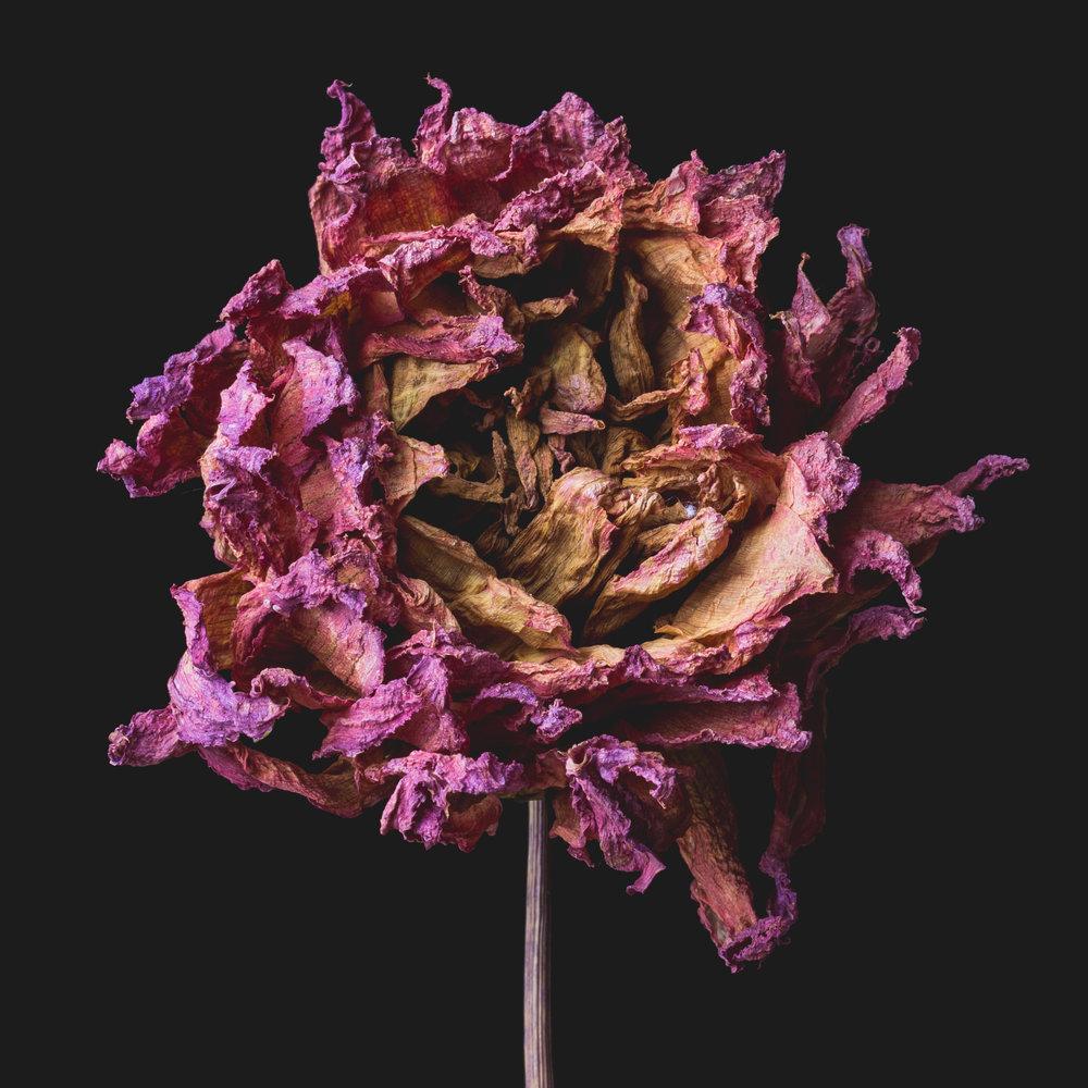 DriedPink_200160408_FLOWERS3308.JPG