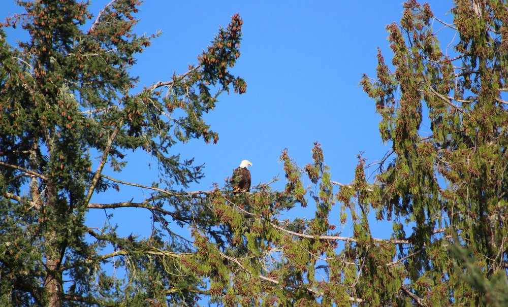 """Strong Wind the Bald Eagle behind the """"Last Resort"""" cabin"""