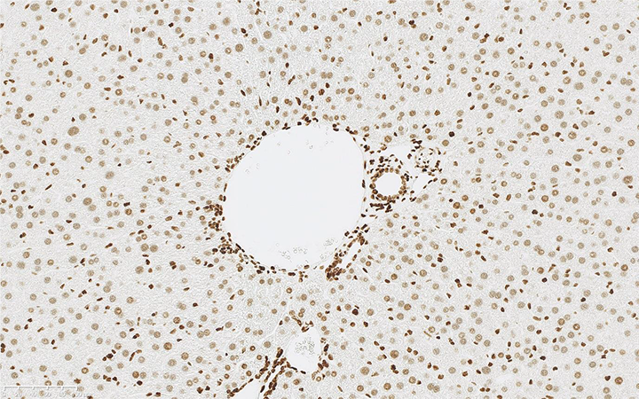 Mouse Liver Immunohistochemically stained using Rabbit Anti-Histone H3