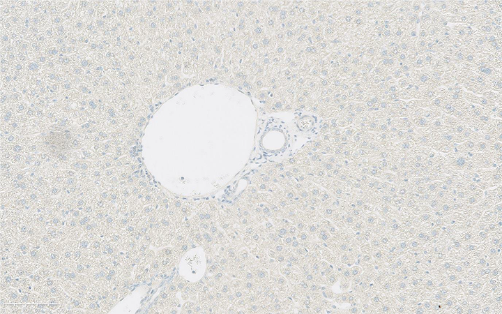 Mouse Liver Immunohistochemically stained using Rabbit Isotype Control