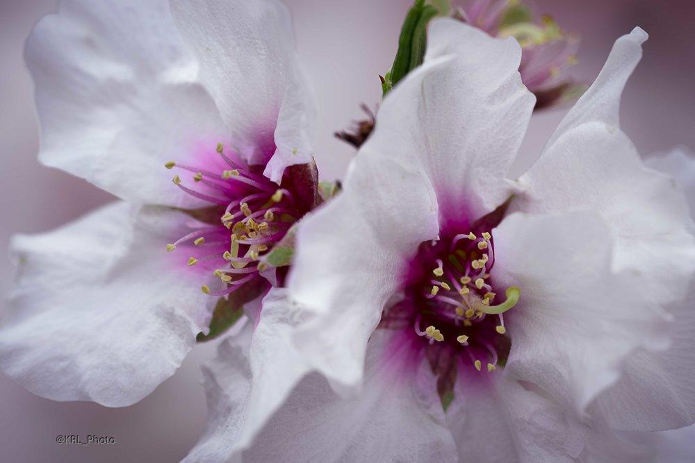 Almond Blooms.jpg