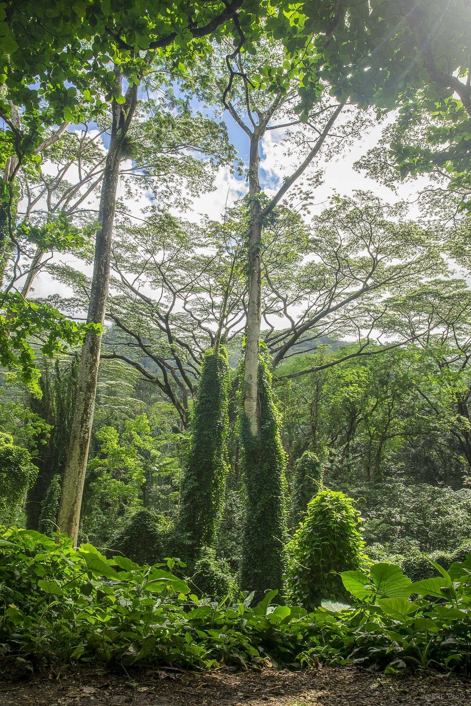 Manoa Falls Hike.jpg