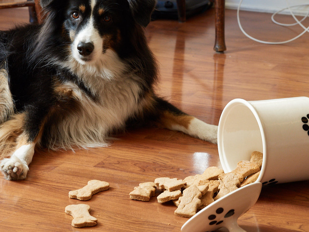 """Riley is just waiting for the """"OK"""" command before he digs in."""