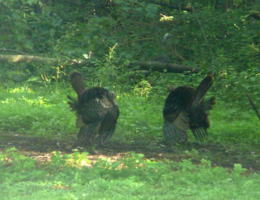 Turkeys_in_the_Gladesm.jpg