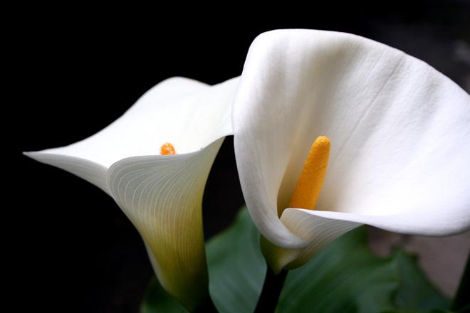 CURIOSIDADE  Copo-de-leite sempre foi e é a flor predileta de Mary Mansur. Combina com sua personalidade: única,   autêntica e singela. Num passeio pela loja, você pode se deparar com várias delas.