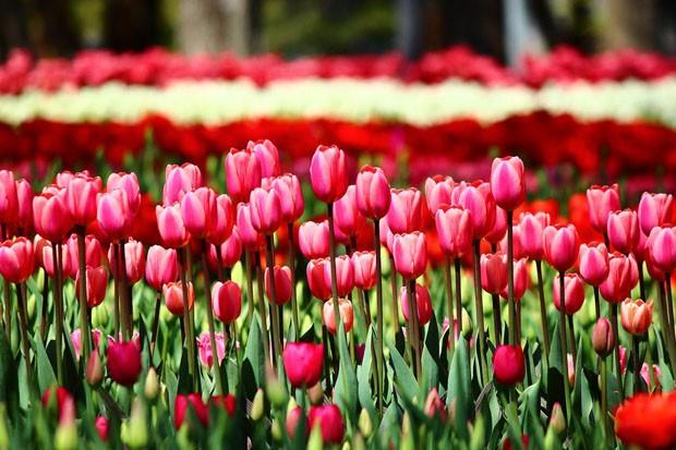 1 tulipa.jpg