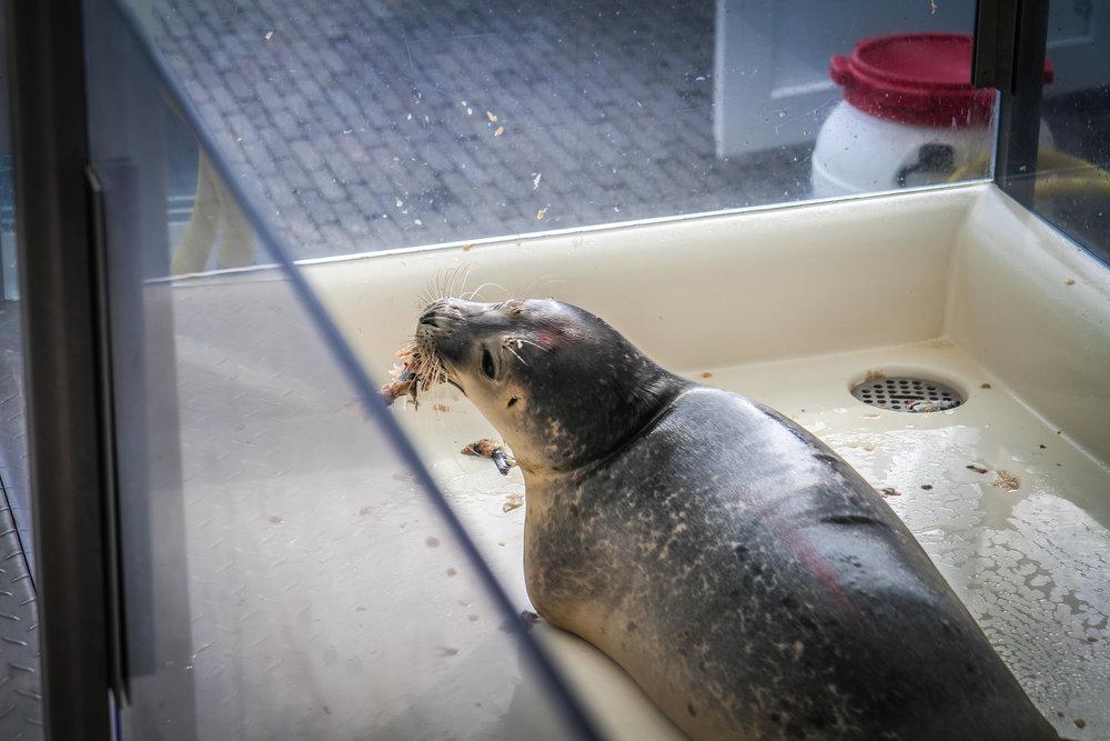 Aseal - Zeehonden ziekenhuis - Zeeland