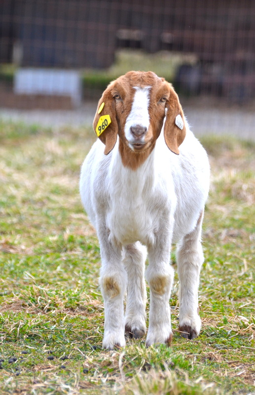 A yearling goat