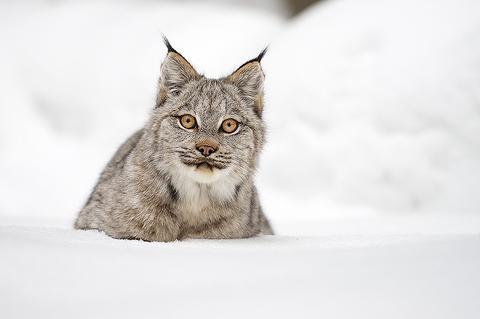 Lynx2-Web_large.jpg