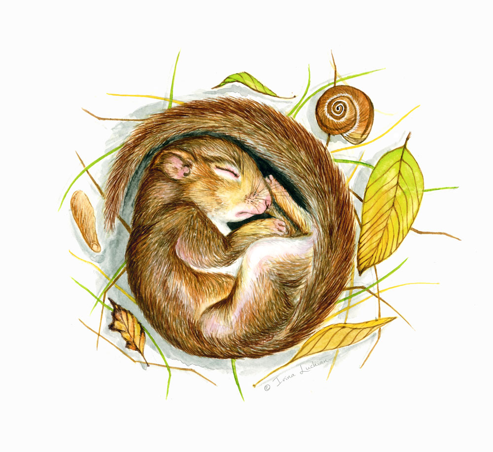 Sleeping Squirrel illustration