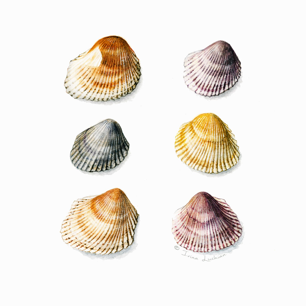 irina_luchian_shells_grid_illustration.jpg
