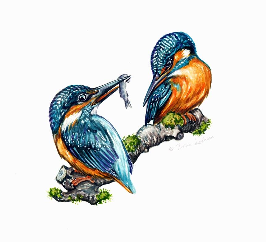 Eurasian Kingfisher birds; Kingfisher pair; Eisvogel Paar
