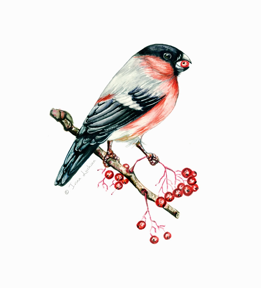 Bullfinch on Guelder-rose branch with berries