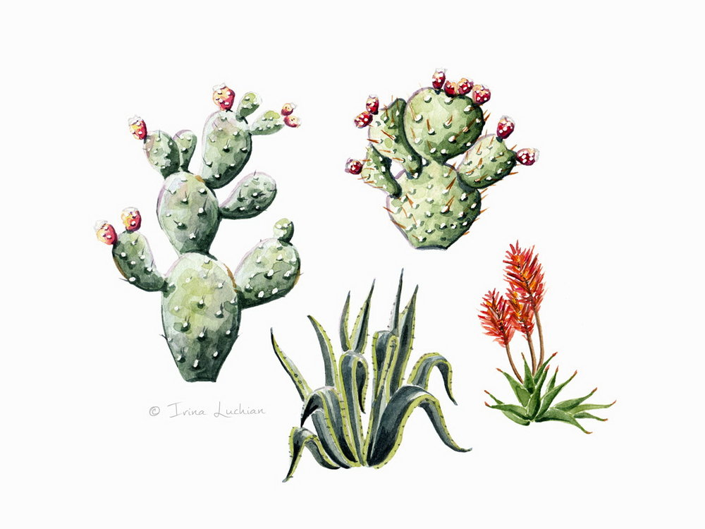 Sicilian plants illustration (edible cactus plant, aloe vera, succulent)