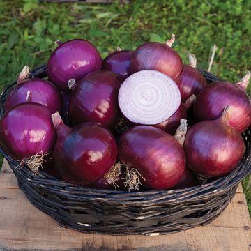 Oignon rouge cabernet