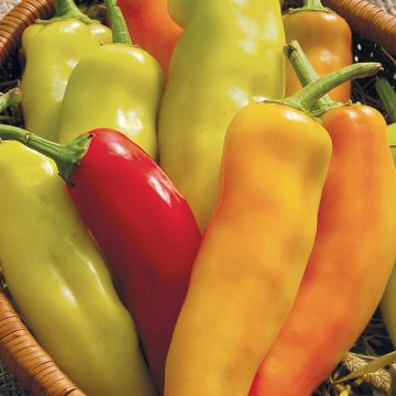 Piment Hungarian Hot Wax