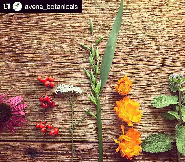 Pretty and powerful. These are some of our favorite, yummy, nutritive botanical medicines too! 🥰🌿🌸 #Repost @avena_botanicals with @get_repost ・・・ These garden gems are still blooming! ✨🌿🌸🌼🌺🌾✨ #november #garden #echinacea #hawthorn #yarrow #oats #calendula #catmint
