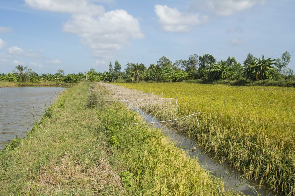 The integration of salt-tolerant rice and shrimp is becoming more common because of salt water intrusion and drought. Trenches around rice fields hold water, allowing shrimp to be raised during the dry season.