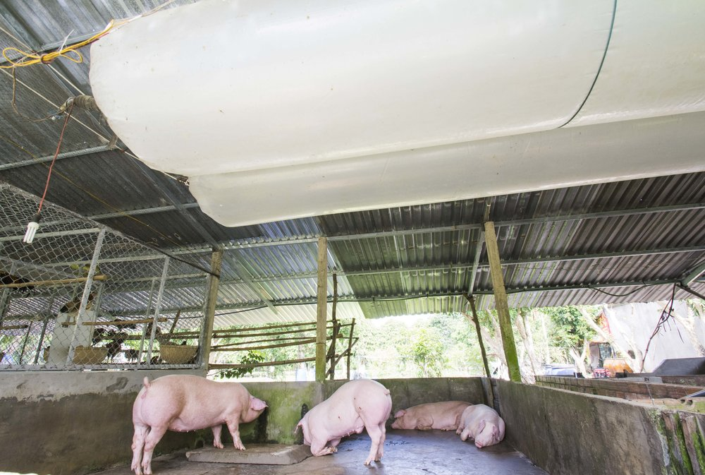 Livestock waste releases methane, a powerful greenhouse gas. On this farm, methane from pig dung is collected in tanks and used for fuel.