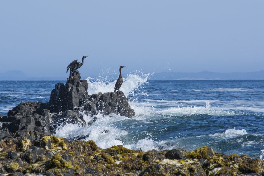Pelagic cormorants nest in colonies on cliff ledges along Saint Lazaria's rocky shorelines. They dive under the water's surface to feed on small fish and crustaceans.