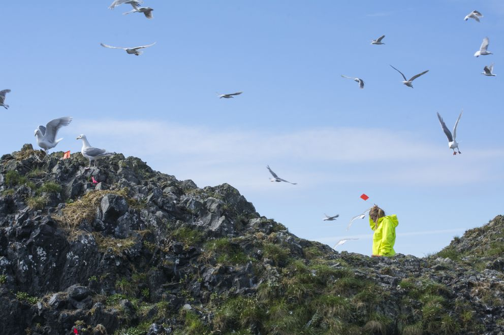 A summer researcher monitors Glaucous-winged gull nests. The adult gulls are very protective of their chicks and can get aggressive.