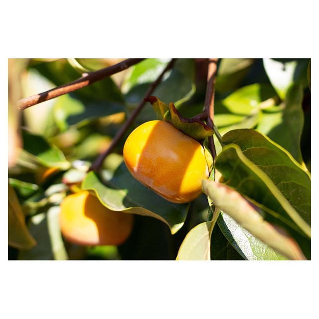 What I look forward to around this time of year 😋 #persimmon #50mm