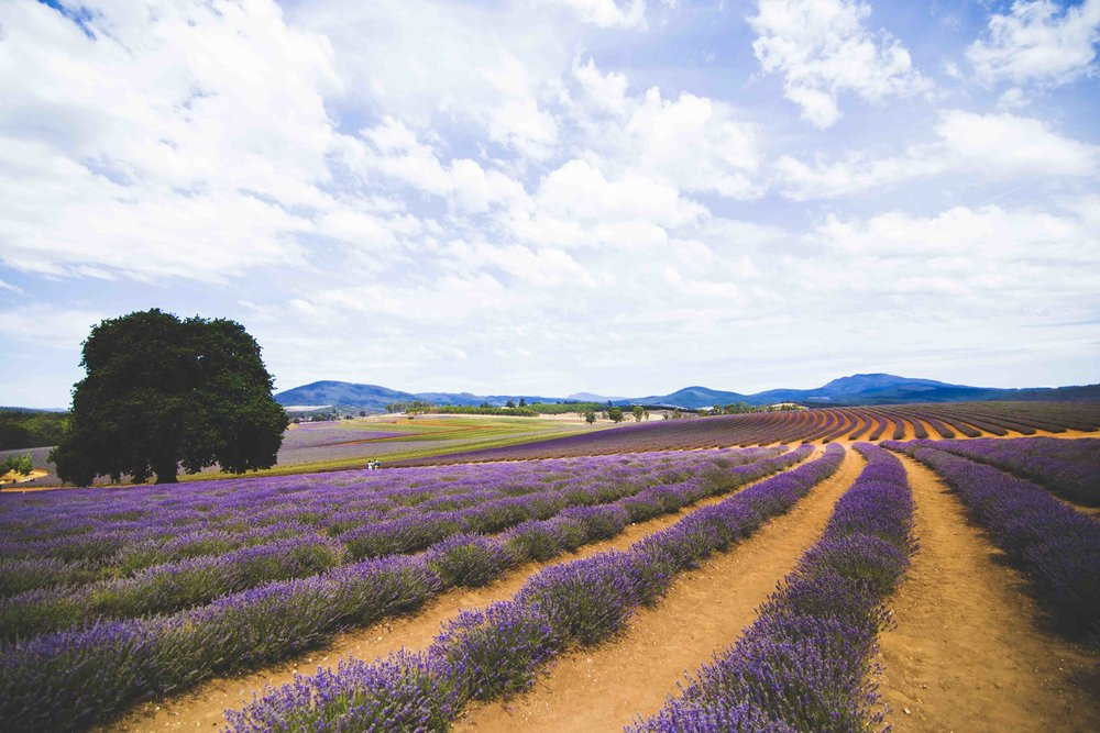 Bridestowe Lavender Fields. Photo: Marine Raynard