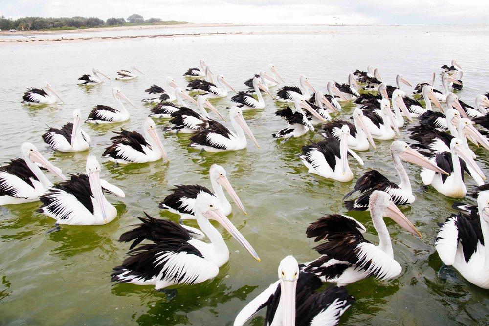 The Entrance Pelicans