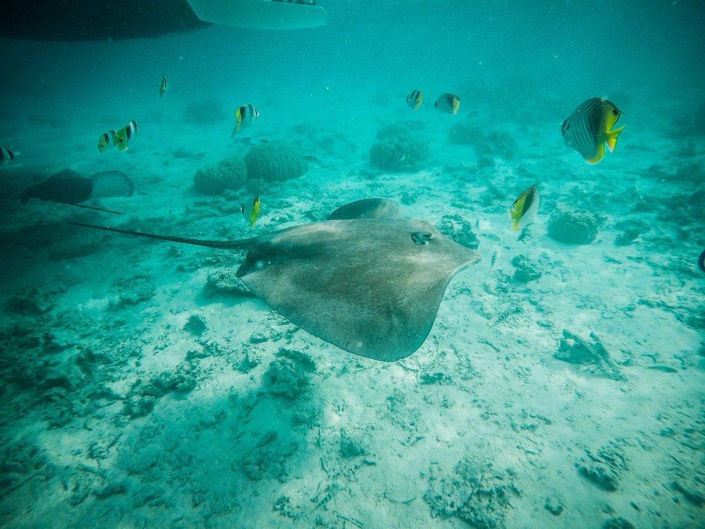 tahiti_underwater_stingray.jpg