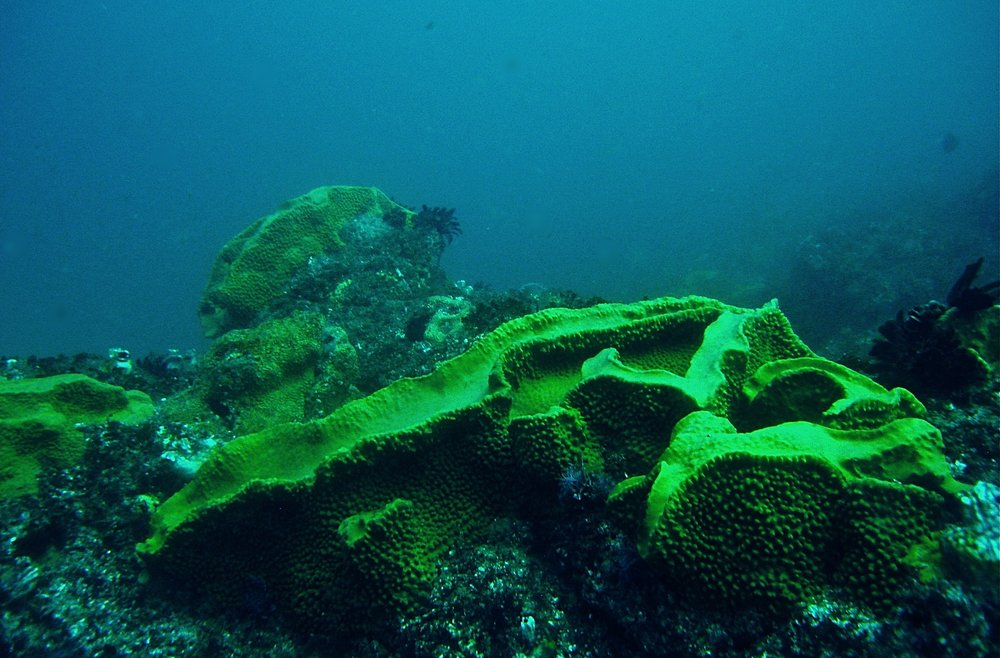 Sea spongues at 28 metres depth - South Solitary Island, Coffs Harbour, NSW, Australia. Photo - Dean Walsh