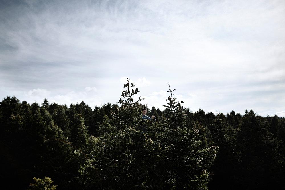 Zapfenpfluecker01.jpg