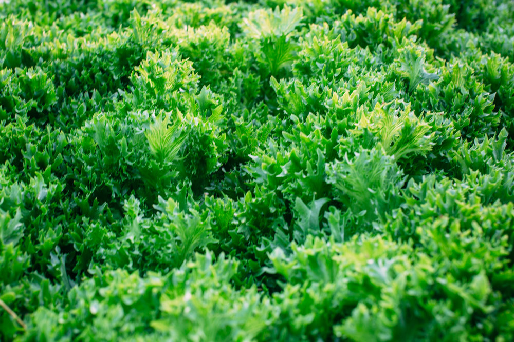 Shiloh Farm-lettuce.jpg