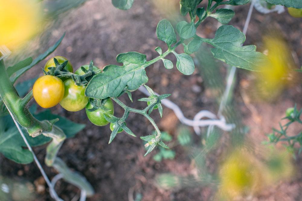 Shiloh Farm-cherry tomatoes.jpg