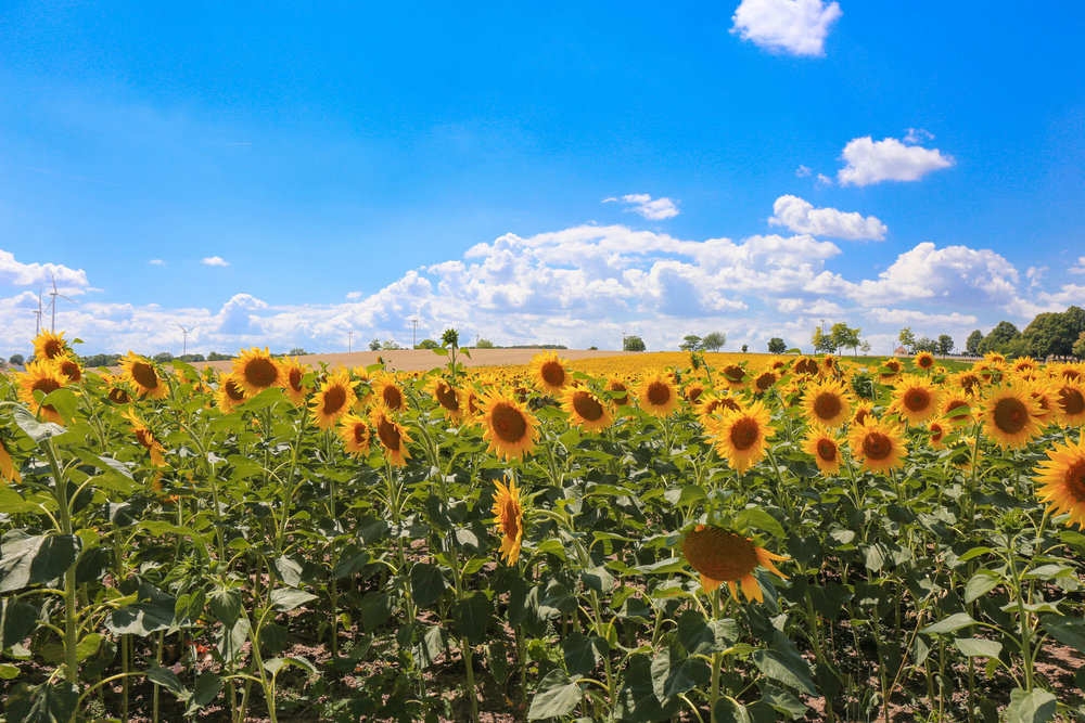 Highway to vienna — Sunflower fields