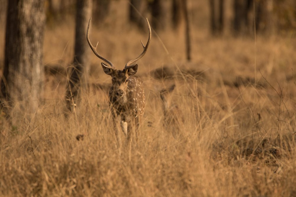 Pench - Spotted deer (concealed) (1 of 1).jpg