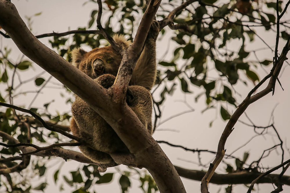 Hard to believe … but this was our first wild Koala (we don't get them in the West)!