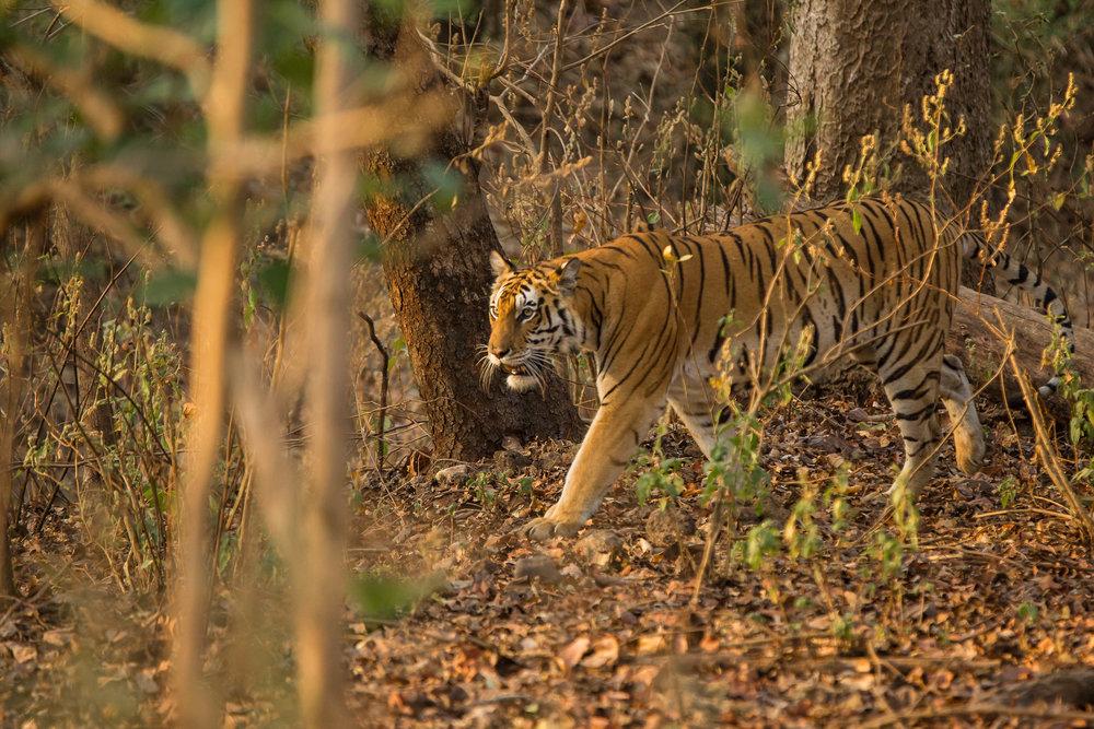 Kanha (Last Tigress) (2 of 4).jpg
