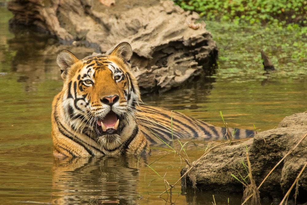Kanha (Male Tiger) (1 of 4).jpg