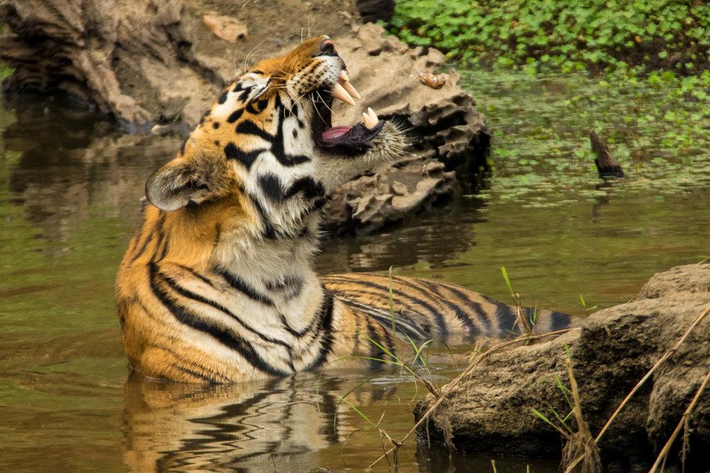 Kanha (Male Tiger) (2 of 4).jpg
