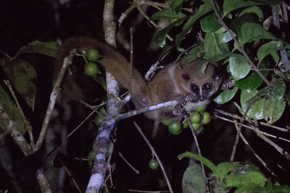 Lemur at night.jpg