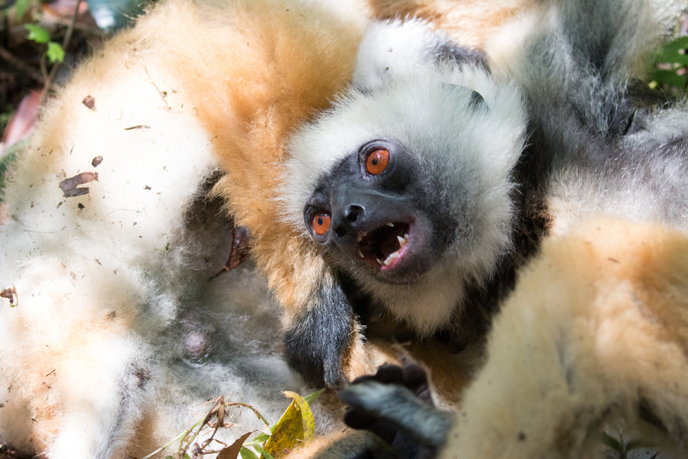 Lemurs playfighting 1.jpg