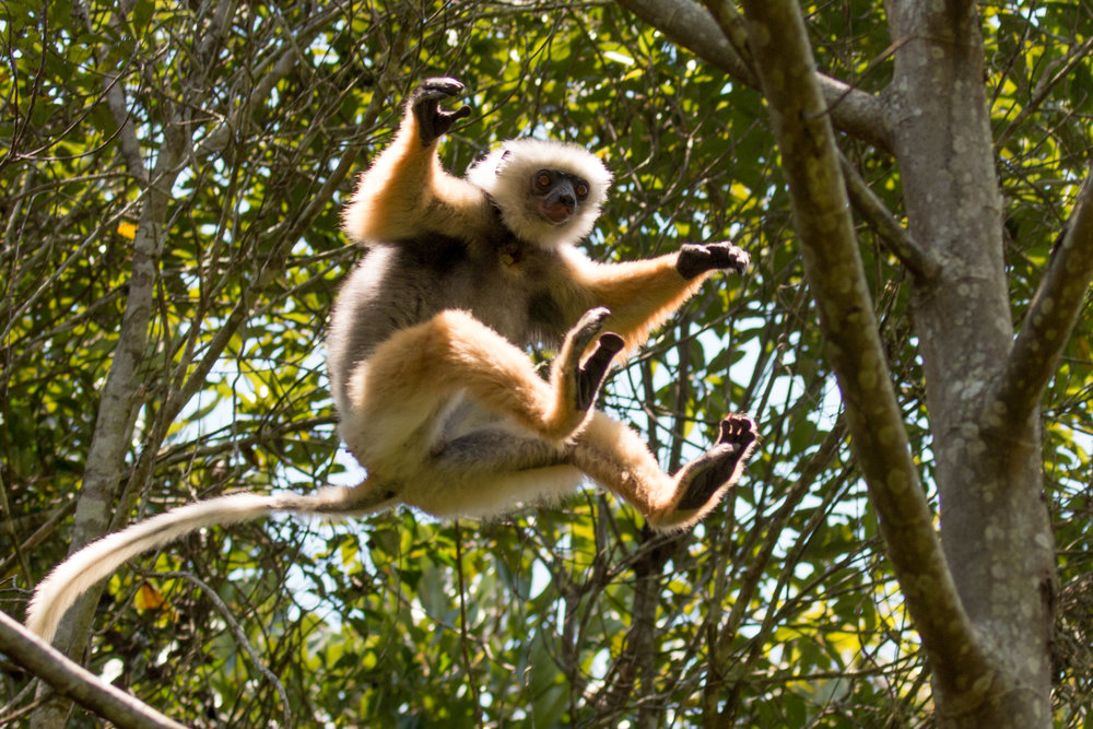 Leaping Sifakas (1 of 3).jpg