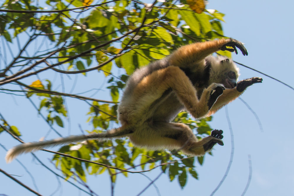 Leaping Sifakas (2 of 3).jpg