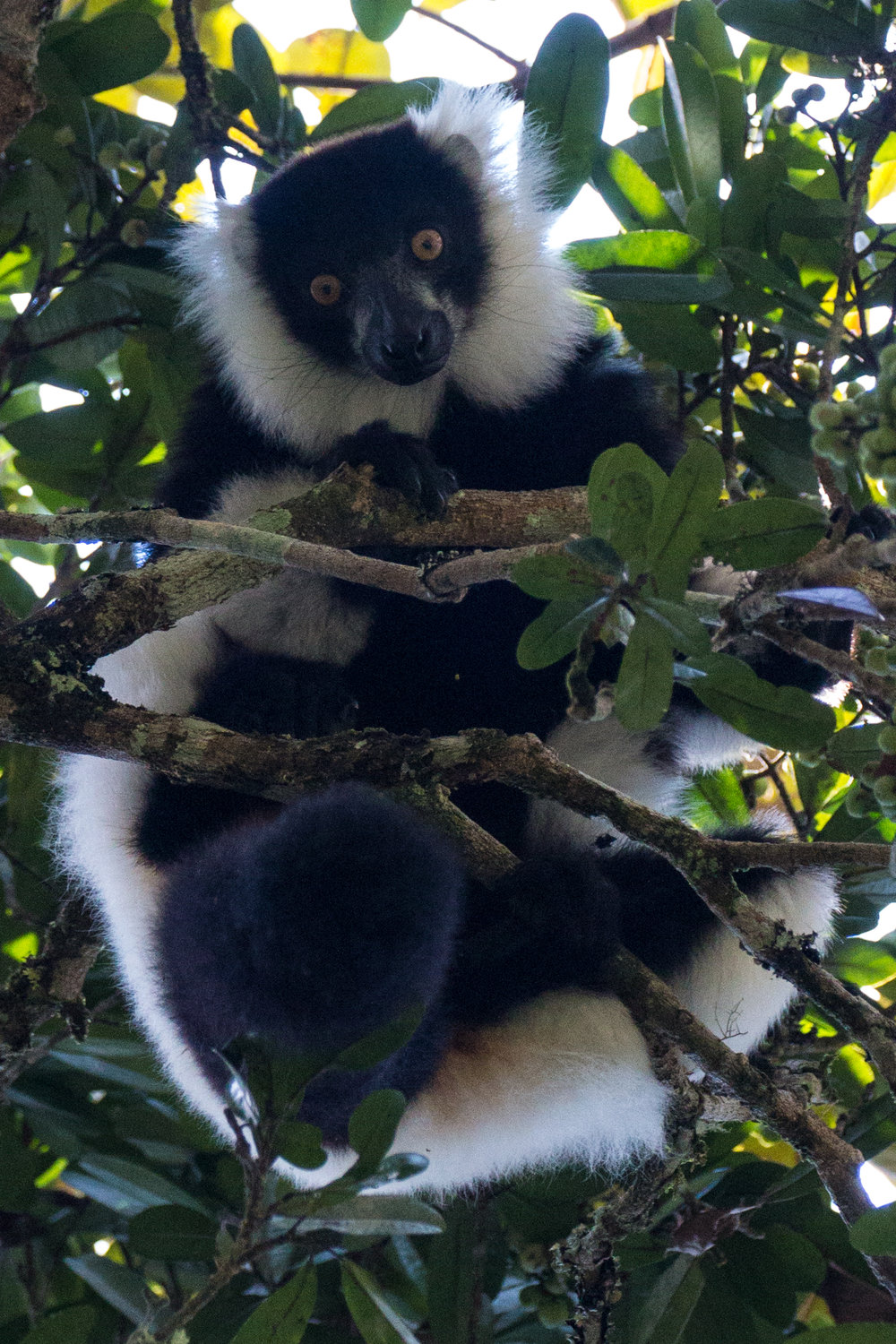 Black and white lemur.jpg