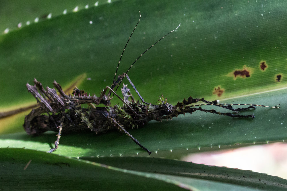 Stick insect 2.jpg