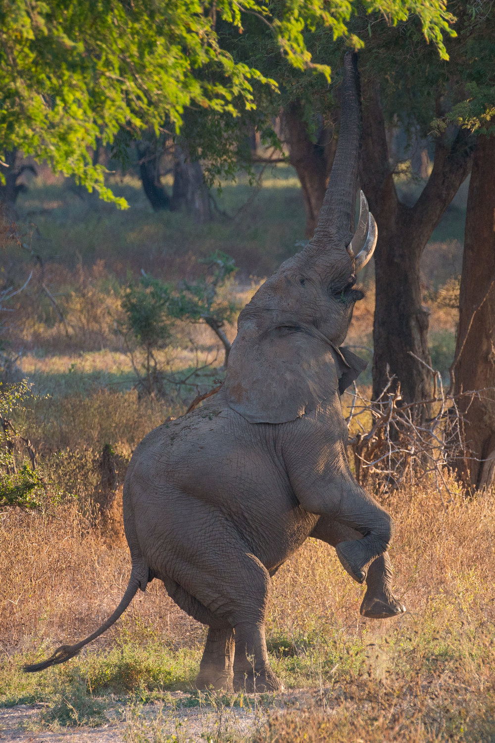 Elephant standing on hindlegs.jpg